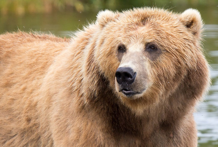 Kodiak Braunbären in Alaska