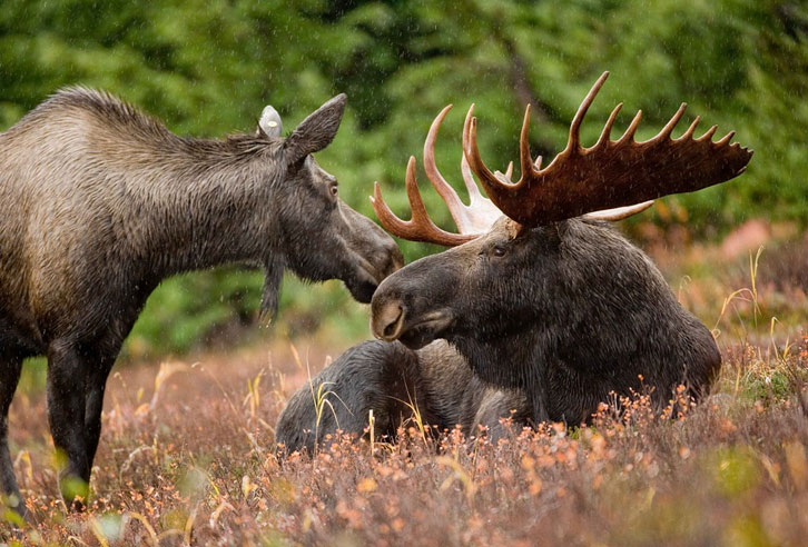 Elche in Alaska