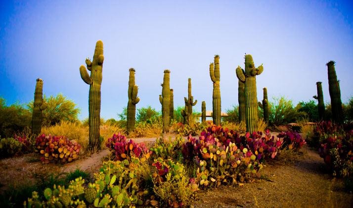 Tucson, Saguaro Nationalpark | Saguaros bei Sonnenaufgang in Mesa