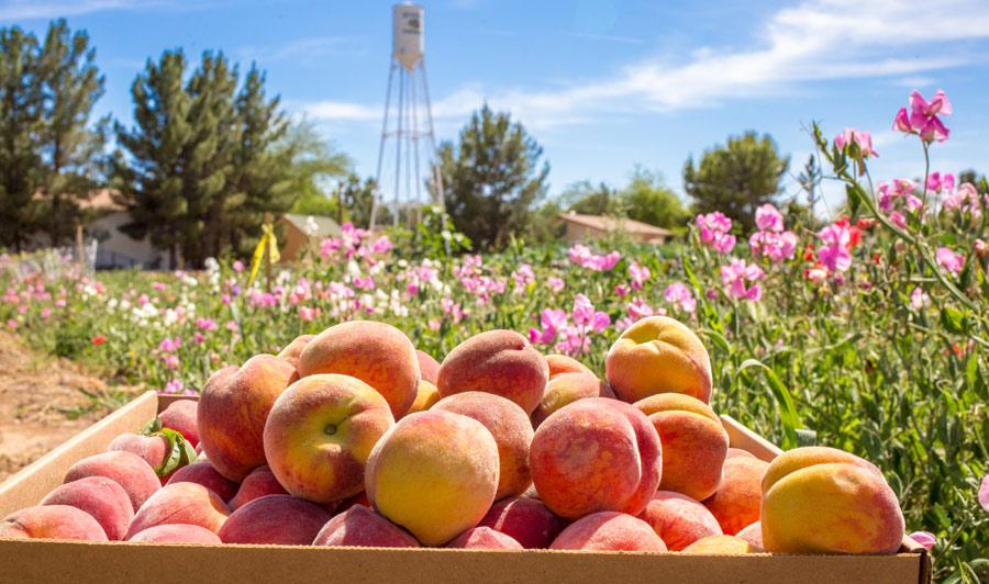Pfirsichernte auf den Obstplantagen in Mesa