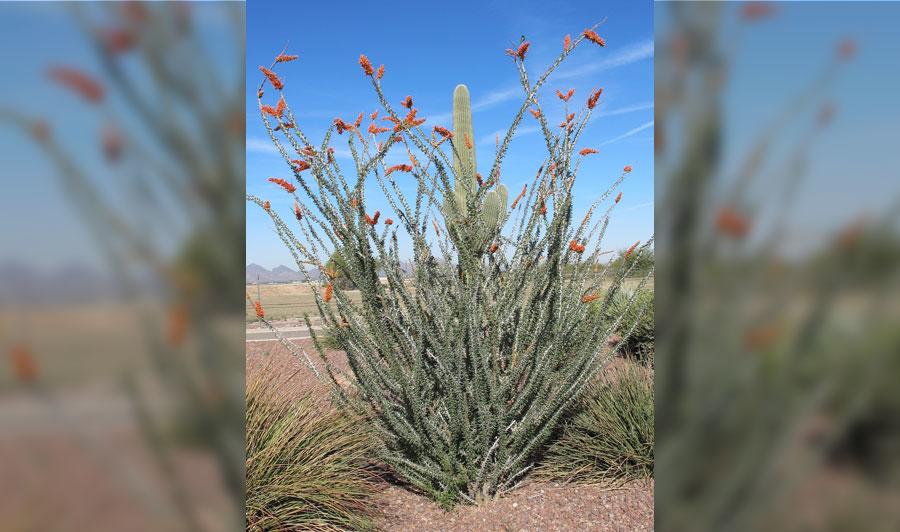 Dickhornschafe und Palmenoasen   Plamen-Oase bei Tucson