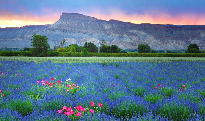 Lavendelfeld bei Grand Junction, CO