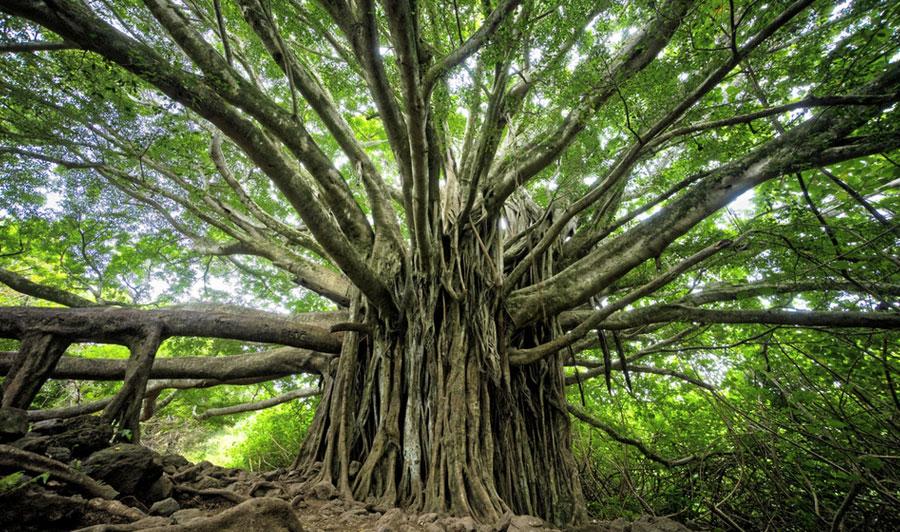 Großer Banyan Baum auf Maui