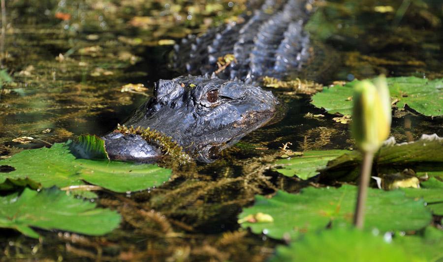 Aligator, Everglades