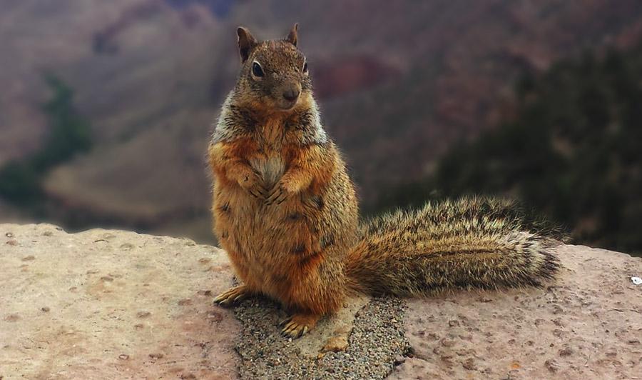 Eichhörnchen am Grand Canyon