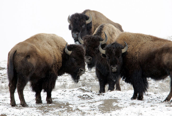 Bison-Herde im Winter in Wyoming