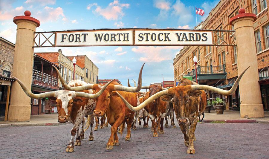Typisch texanische Longhorn-Rinder beim täglichen Viehtrieb