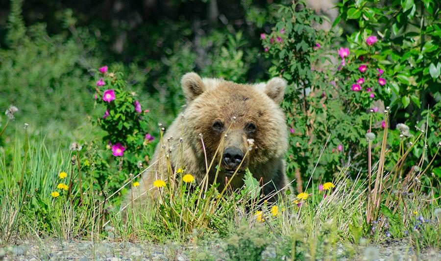 Grizzly-Bären im Yukon