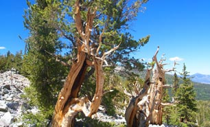 Bristlecone Pine - Great Basin Nationalpark - Nevada